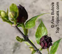 Calycanthus floridus, Sweetshrub, Carolina allspice, Strawberry shrub, Pineapple shrubClick to see full-size image
