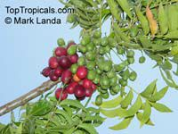 Harpephyllum caffrum - seeds  Click to see full-size image