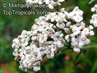 Achillea millefolium, Yarrow, Thousand-leaf, Milfoil, Sneezewort, Soldier's Friend