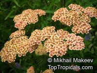 Achillea sp., Yarrow, Thousand-leaf, Milfoil, Sneezewort, Soldier's Friend