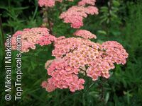 Achillea sp., Yarrow, Thousand-leaf, Milfoil, Sneezewort, Soldier's Friend  Click to see full-size image