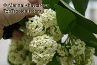Alstonia scholaris , Blackboard Tree, Indian Devil Tree, Sapthaparni, Ditabark, Milkwood Pine, White Cheesewood  Click to see full-size image