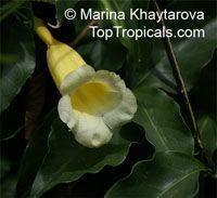 Anemopaegma chamberlaynii, Bignonia chamberlaynii, Yellow Trumpet VineClick to see full-size image