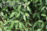 Anemopaegma chamberlaynii, Bignonia chamberlaynii, Yellow Trumpet Vine  Click to see full-size image