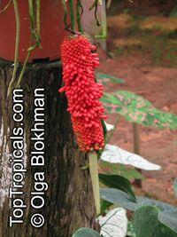 Anthurium plowmanii, Anthurium Plowmanii RufflesClick to see full-size image