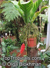 Anthurium plowmanii, Anthurium Plowmanii Ruffles  Click to see full-size image