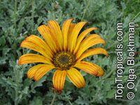 Arctotis sp., Venidium, x Venidoarctotis, African Daisy  Click to see full-size image