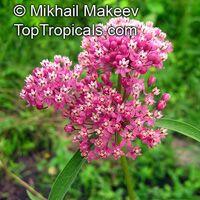 Asclepias incarnata - Swamp MilkweedClick to see full-size image