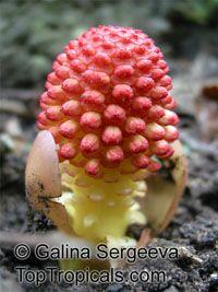 Balanophora fungosa, BalanophoraClick to see full-size image