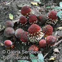 Balanophora fungosa, Balanophora  Click to see full-size image