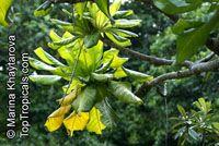 Barringtonia edulis, Cut Nut, Pili NutClick to see full-size image