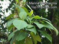 Bellucia pentamera, Bellucia costaricensis, Bellucia axinanthera , Coronillo  Click to see full-size image
