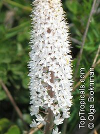 Bulbinella sp., Bulbinella  Click to see full-size image