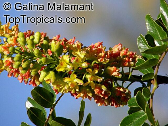 Caesalpinia Spinosa Tara Spiny Holdback Toptropicals Com