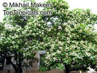 Catalpa bignonioides, Southern Catalpa, Indian Bean Tree  Click to see full-size image