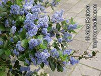 Ceanothus arboreus, Felt Leaf Ceanothus, California lilac, Tree Ceanothus  Click to see full-size image