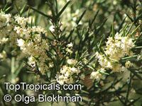 Colletia hystrix , Crucifixion Thorn, Barbed Wire Bush