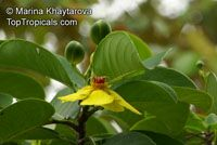 Dillenia alata, Red Beech, Golden Guinea TreeClick to see full-size image