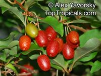 Elaeagnus multiflora, Goumi, Gumi, Natsugumi, Cherry Silverberry, Cherry Elaeagnus  Click to see full-size image