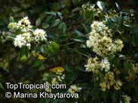 Syzygium zeylanicum, Eugenia zeylanica, Eugenia spicata, Spicate Eugenia, Kelat Nasi Nasi, Kelat Nenasi  Click to see full-size image