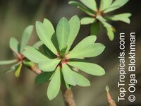 Euphorbia sp., Milkweed, Spurge  Click to see full-size image