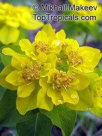 Euphorbia epithymoides, Euphorbia polychroma, Cushion Spurge  Click to see full-size image