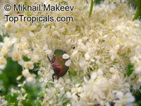 Filipendula ulmaria, Meadowsweet  Click to see full-size image