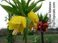 Fritillaria sp., Fritillaria  Click to see full-size image