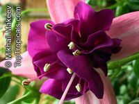Fuchsia x hybrida, Fuchsia HybridClick to see full-size image