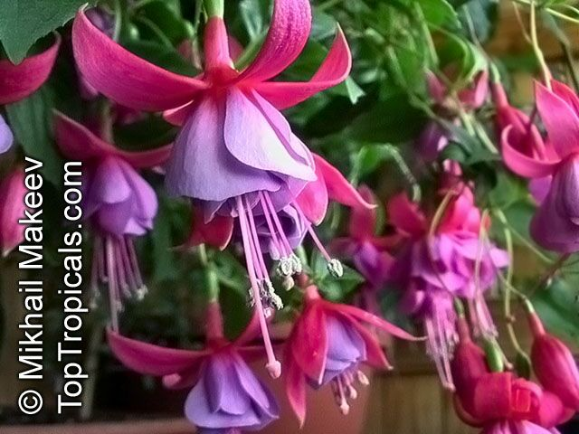 Fuchsia gallery together with Tamarind furthermore Dendrobium2  gallery also Wild Orchids In Flatwoods as well Orchids. on growing orchids in sw florida