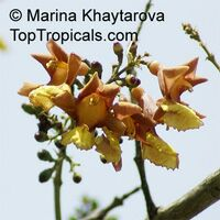 Gmelina arborea , Gamhar  Click to see full-size image