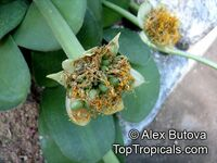 Haemanthus albiflos , Paint Brush