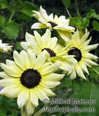 Helianthus annuus, SunflowerClick to see full-size image