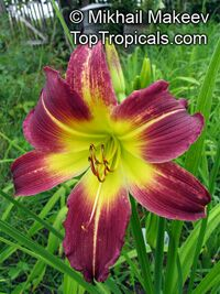 Hemerocallis sp., Daylily
