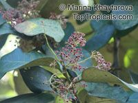 Heritiera littoralis, Dungun, Looking-glass Mangrove