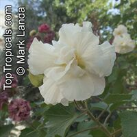 Hibiscus mutabilis, Confederate Rose, Cotton Rose, Common Rose Mallow  Click to see full-size image