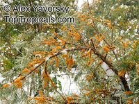 Hippophae rhamnoides, Sea Buckthorn  Click to see full-size image