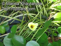 Hydrocleys nymphoides, Water PoppyClick to see full-size image