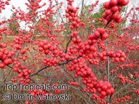 Ilex verticillata, American Winterberry, Coralberry  Click to see full-size image