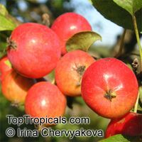 Malus domestica - Anna Low Chill Apple, Low chill, Grafted  Click to see full-size image