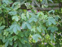 Manihot glaziovii , Tree Cassava, Ceara Rubber Tree   Click to see full-size image