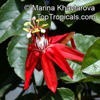 Passiflora vitifolia, Grape Leaved Passion Fruit, Crimson Passion Flower