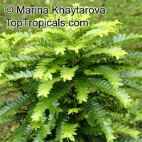 Phyllanthus buxifolius, Phyllanthus  Click to see full-size image
