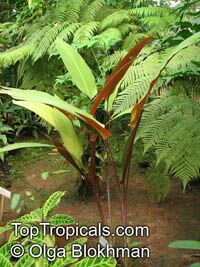 Pleiostachya pruinosa, Maranta pruinosa , Wheat Calathea, Platanillo  Click to see full-size image