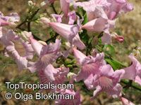 Podranea brycei, Zimbabwe Creeper, Queen-Of-Sheba Vine  Click to see full-size image