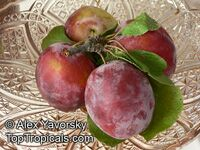 Prunus sp - Low Chill Plum Golf Beauty, Low chill, Grafted  Click to see full-size image