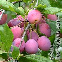 Prunus sp - Low Chill Plum Scarlet Beauty, Low chill, Grafted  Click to see full-size image