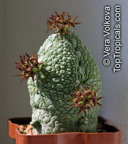 http://toptropicals.com/pics/garden/m1/Podarki6/Pseudolithos_02VeraV.jpg