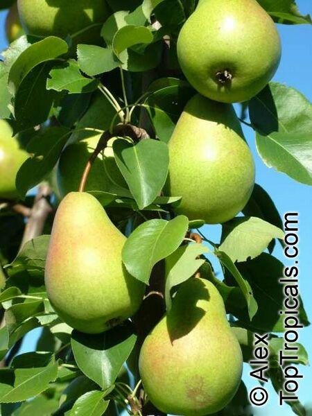 Груша - древнейшее культурное растение.  Известно около 60 видов груш, из них в нашей стране 38.