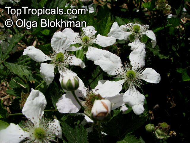 Rubus fruticosus blackberry dewberry click to see full size image